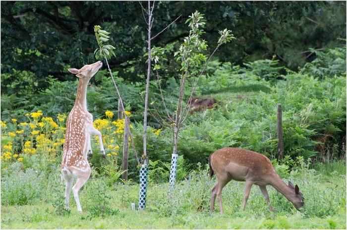Fallow Deer Pruning